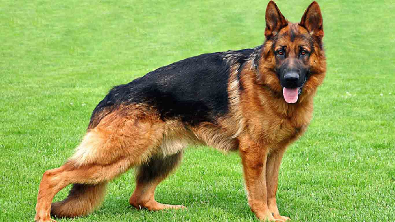 germanshepherdinformation.org
