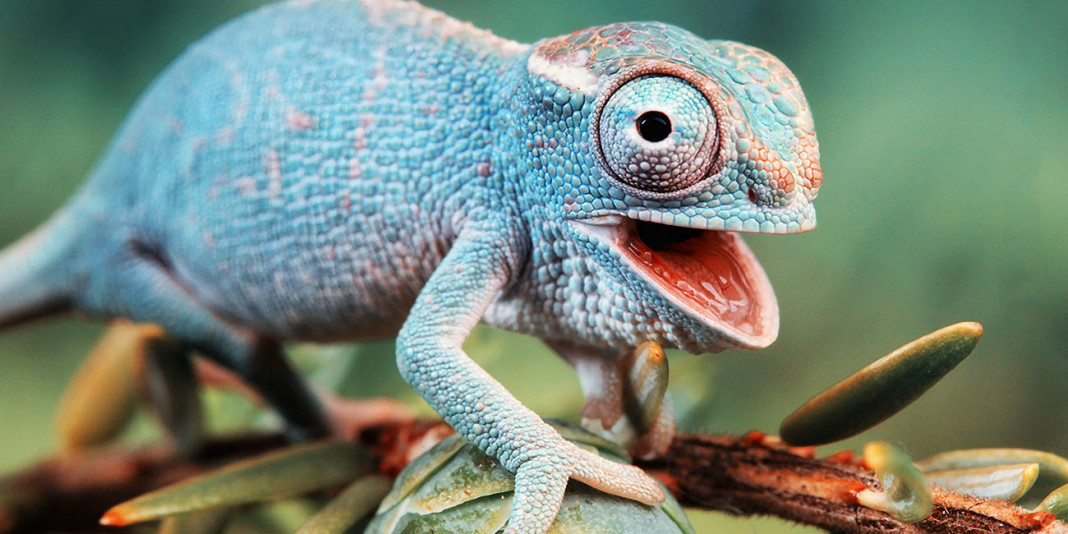 Chameleon Facts: 15 Things You Didn't Know (Part 1)