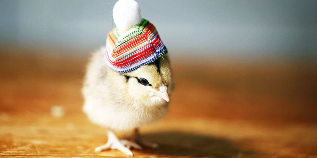 The Chicken: 15 Things You Didn't Know (Part 2)
