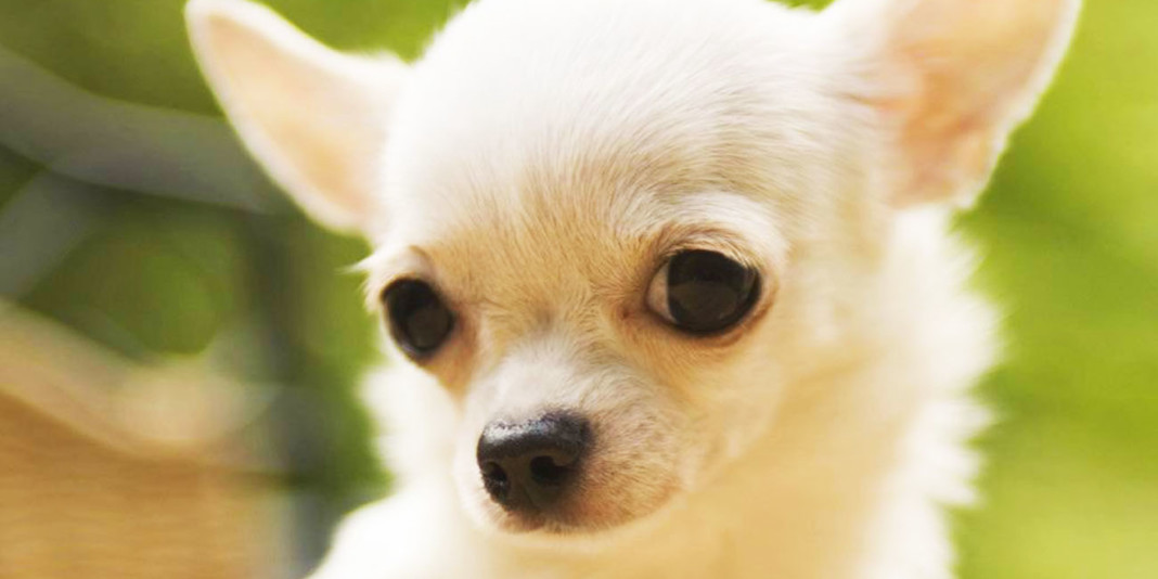Chihuahuas: 10 Fun Facts You Didn't Know (Part 1)
