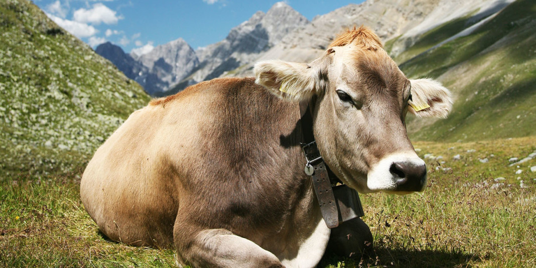 Cow Facts: 15 Things You Didn't Know (Part 1)