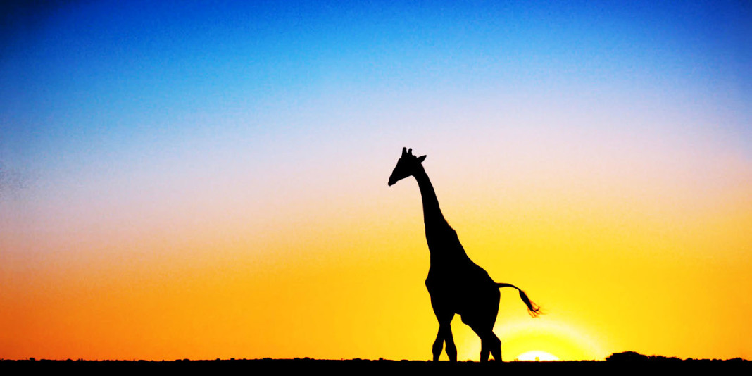 The Giraffe: 15 Things You Didn't Know (Part 1)