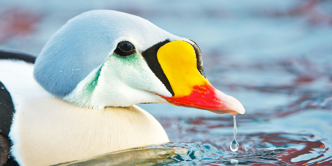 King Eider: 15 Things You Didn't Know (Part 2)