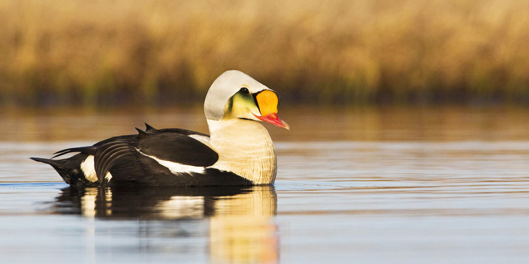 King Eider: 15 Things You Didn't Know (Part 1)