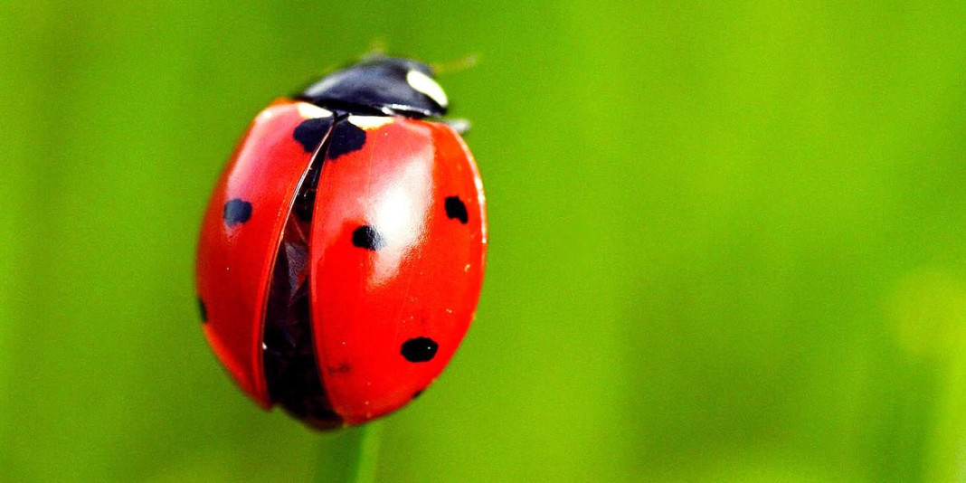 Ladybug Facts: 15 Things You Didn't Know (Part 1)