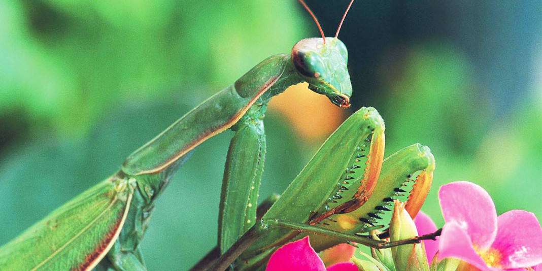 Praying Mantis Facts: 15 Things You Didn't Know (Part 2)