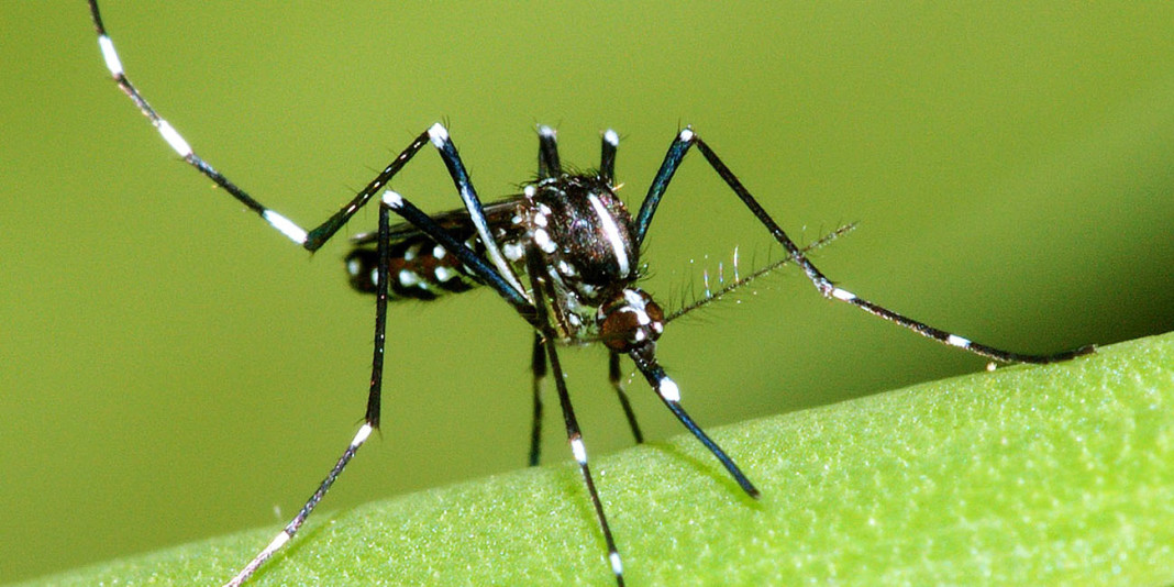 The Mosquito: 15 Interesting Facts (Part 2)