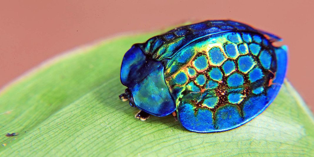 The Tortoise Beetle: 15 Ridiculous Facts (Part 2)