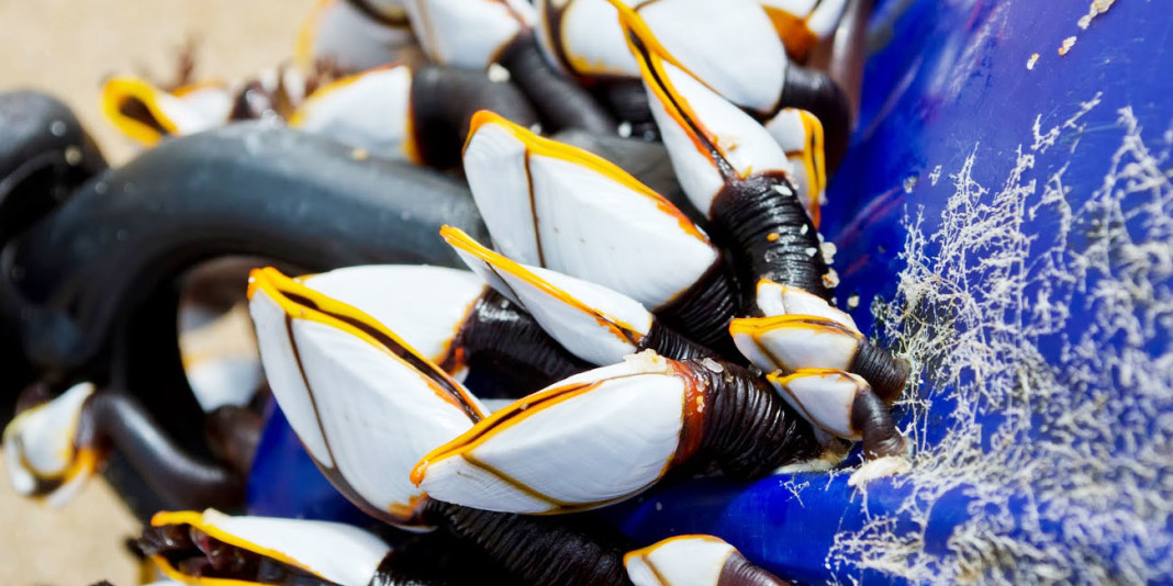 Goose Barnacle Facts: 15 Things You Didn't Know (Part 1)